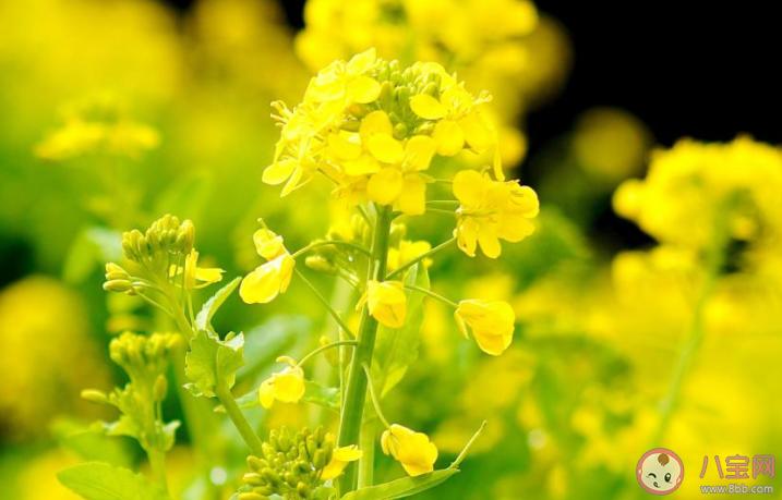 油菜花盛开的季节说说 油菜花盛开的图片大全