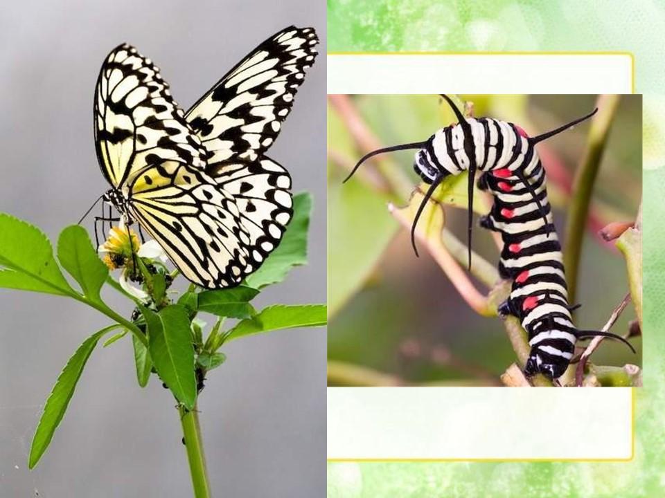 《小蝴蝶和毛毛虫》PPT课件2下载