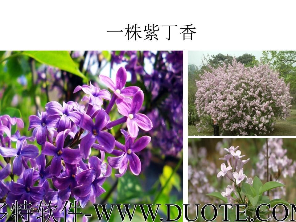 《一株紫丁香》PPT课件3下载