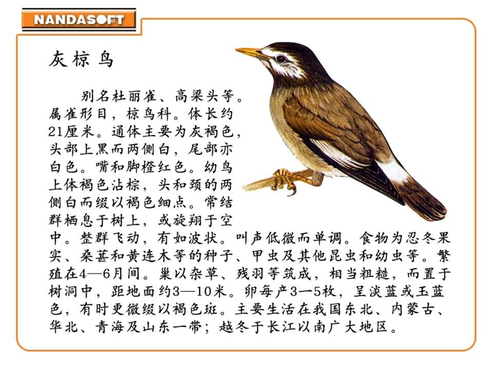 《灰椋鸟》PPT课件5下载