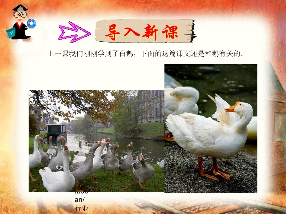 《白公鹅》PPT课件下载5下载